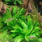 Dwarf Echinodorus Parviforus Rosette Potted Amazon Sword Live Aquarium Plant ada