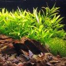 Hygrophila Corymbosa Potted Live Aquarium Plant Stem Rhizome Tropica Aquatic Ada