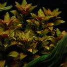 Ludwigia Ovalis Potted Red Freshwater Live Aquarium Plant Decoration Stem