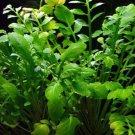 Rorippa Aquatica Potted Water Cabbage Live Aquarium Plant Aquascape Freshwater