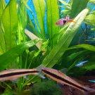 Amazon Sword Echinodorus Bleheri Potted Tropical Live Aquarium Plant Decoration
