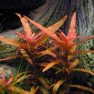 3 Bunch Ammannia Gracilis Red Stem Freshwater Live Aquarium Plant Fish Moss Fern