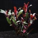 Ludwigia Peruensis Potted Super Red Freshwater Live Aquarium Plant Decorations