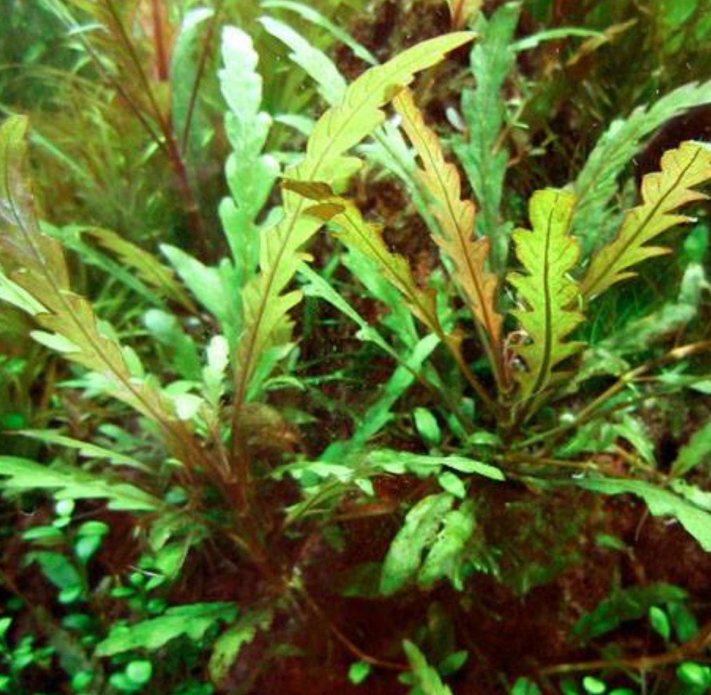 Hygrophila Pinnatifida Bunch Live Freshwater Aquarium Aquatic Plant Stem Rhizome