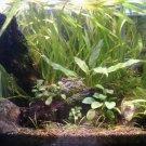 Anubias Minima Potted Freshwater Live Aquarium Plant Decoration Barteri Nana