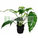 Anubias Sp Short Sharp Leaves Pot Freshwater Live Aquarium Plant Beginner Rare