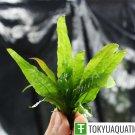 Java Fern Microsorum Pteropus Freshwater Live Aquarium Tropical Aquatic Plants