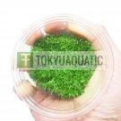 Utricularia Graminifolia Tissue Culture Freshwater Aquarium Live Plant