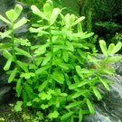 Bacopa Monnieri Moneywort Brahmi Stem Bundle Freshwater Live Aquarium Plants Ada