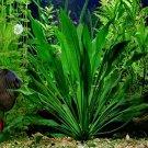 Echinodorus Amazonicus Potted Freshwater Live Aquarium Plant Decorations Rooted