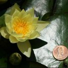 Nymphaea Helvola Dwarf Yellow Hardy Water Lily Tuber Live Pond Plant Petite Bulb