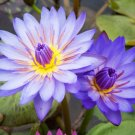 Nymphaea Sea Blue Tropical Water Lily Tuber Live Rhizome Garden Pond Plant Bulb