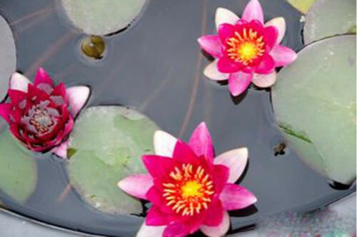 Nymphaea Gloriosa Red Hardy Water Lily Tuber Live Pond Plant Fresh Koi Not Seed