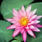 Nymphaea Ploi Dang Light Pink Tropical Live Water Lily Tuber Pond Rhizome Garden