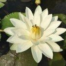 Nymphaea Kao Mongkol White Tropical Freshwater Lily Tuber Live Rhizome Pond Thai