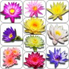 Random Selected Live Water Lily Tuber Aquatic Pond Plant Flower Koi Garden Yard