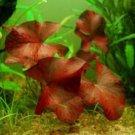 Dwarf Water Lily Nymphaea Rubra Bulb Red Freshwater Live Aquarium Plant Seed