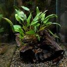 Cryptocoryne on Driftwood Tropical Freshwater Aquarium Live Plant Decoration