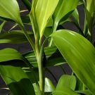 Dracaena Sanderiana Green Bundle Lucky Bamboo Aquarium Live Plant Decorationv