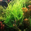 Cyperus Helferi Bundle Freshwater Aquarium Live Plant Decoration