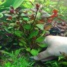 Ludwigia Peruensis Diamon Bundle Freshwater Aquarium Live Plant Decoration Tank