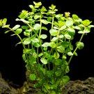 Rotala Indica Bundle Tropical Freshwater Aquarium Live Plant Decoration Tank