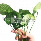 Anubias Barteri Broad Leaf XL Loose Freshwater Aquarium Live Plant Decoration