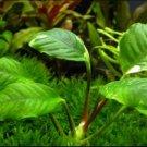 Anubias nana on Driftwood Large Size Freshwater Aquarium Live Plant Decoration