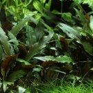 Cryptocoryne Petchii Potted Freshwater Aquarium Live Plant Decoration Fish Tank