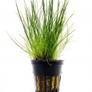 Dwarf Hairgrass Eleocharis parvula Potted Live Aquarium Plant Decorations carpet