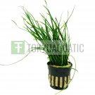 Isoetes Vetata Varsicula Pot Live Aquarium Plant Hairgrass Tropica Quillwort