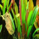 Echinodorus Red Diamond Potted Amazon Sword Aquarium Live Plant Decoration Tank