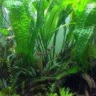 Aponogeton Boivinianus Bulb Live Aquarium Plant Madagascar Aquatic Tuber Betta