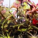 Cryptocoryne Nurii Mini Cup Live Aquarium Plant Crypt Brown Tropica Bunch Rare
