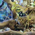 Zoo Spider Wood Medium Perfect Natural for Aquarium Tank Decoration Aquascaping