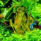 Micranthemum Monte Carlo Carpet Plant Easy Live Aquarium Plant Fish Tank Plant
