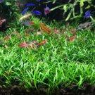 Cryptocoryne Parva Crypt Parva Easy Live Aquarium Plants