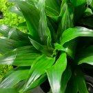 Janet Craig Pineapple Plant Dracaena Compacta Live House Plant