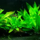 Amazon Sword Echinodorus Bleheri Live Aquarium Plants Rooted