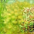 Red Myrio Myriophyllum Heterophyllum Live Aquarium Plants