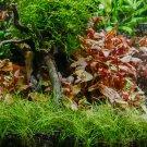 Dwarf Hair Grass Carpet Portion Easy Live Aquarium PlantS