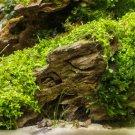 Dwarf Baby Tears Carpet Plant Hemianthus Callitrichoides