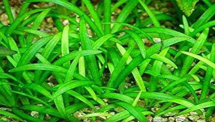 Dwarf Sagittaria Subulata Dwarf Sag Live Fish Tank Plants