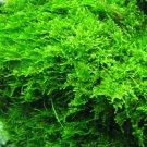 Christmas Moss Live Aquarium Plant Vesicularia Montagne
