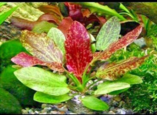 Red Flame Sword Echinodorus Red Flame Live Aquarium Plants
