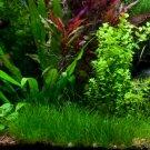 Dwarf Hair Grass Clump Eleocharis Parvula Sp Mini Aquarium