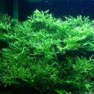 Microsorum Windelov Java Fern Windelov Live Aquarium Plants