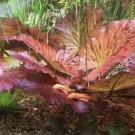 Tiger Lotus Nymphaea Zenkeri Red Easy Live Aquarium Plants