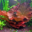 Dwarf Water Lily Nymphaea Stellata Rubra Aquarium Plants