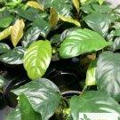 Anubias Coffeefolia Anubis Rhizome Live Aquarium Plants